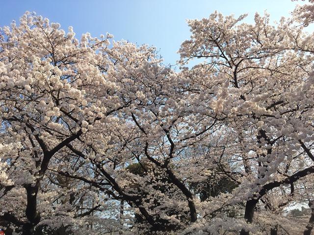 2015 上野公園桜image1 web-b.jpg