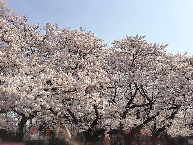 2015 上野公園桜image2 web-b.jpg