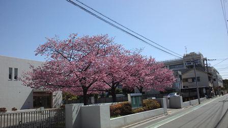 安行桜CA3J0006.jpg